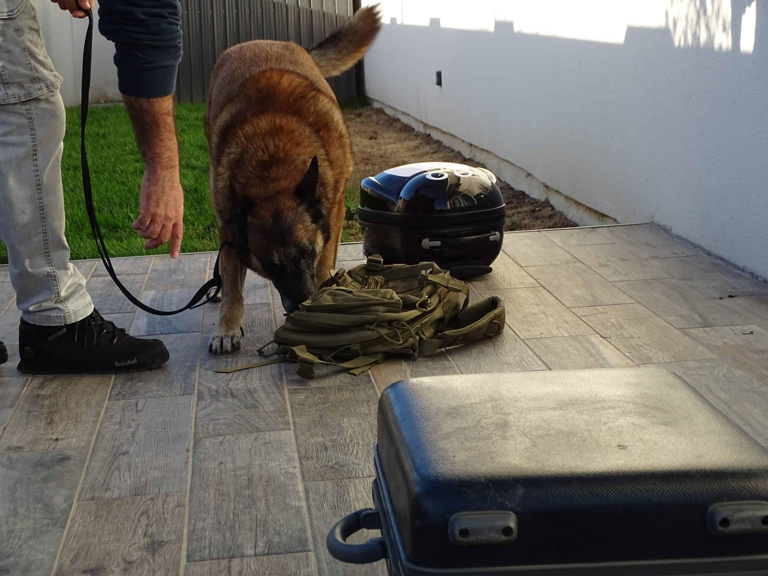Chien de détection d'armement et munitions en recherche sur un bagage abandonné