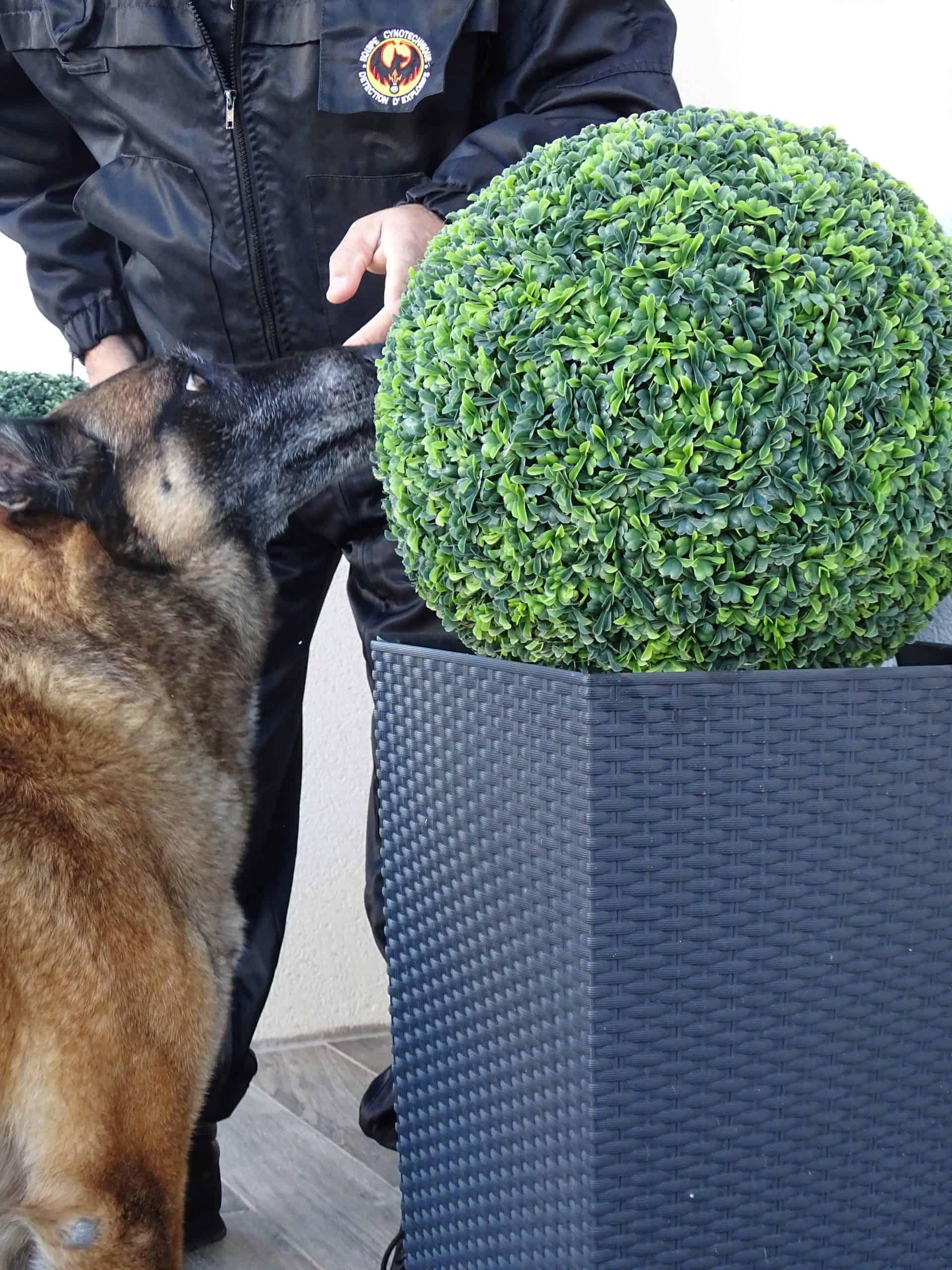 Chien en formation canin dans la recherche d'explosifs reconnu par la DGAC